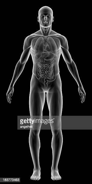 x-ray of human body with internal organs - the human body stock pictures, royalty-free photos & images