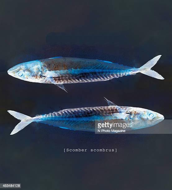 Xray style view of two whole mackerel taken on August 30 2013