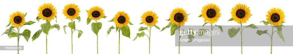 XXXL Reihe von Sonnenblumen : Stock-Foto
