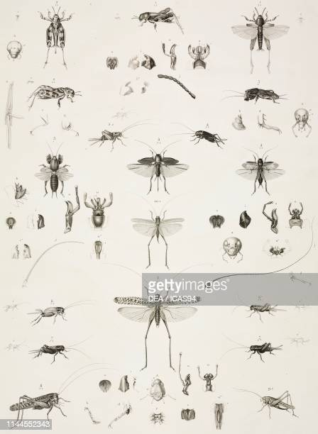Xye, Crickets , Grasshoppers , Zoology plate by Marie Jules Cesar Savigny, engraving by Manceau after a drawing by Savigny, from Description de...