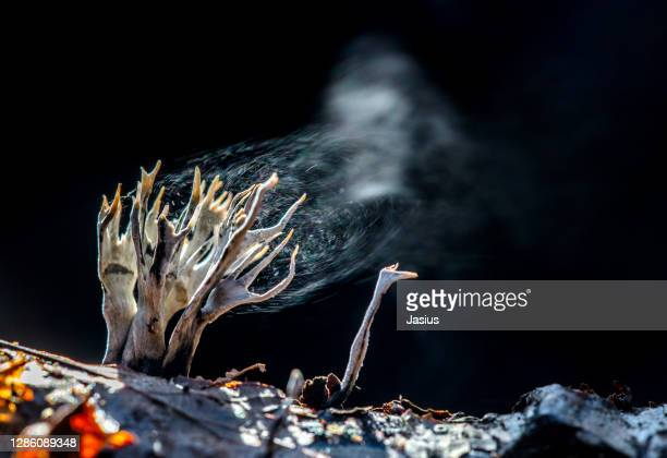 xylaria hypoxylon – candlestick fungus - spore stock pictures, royalty-free photos & images