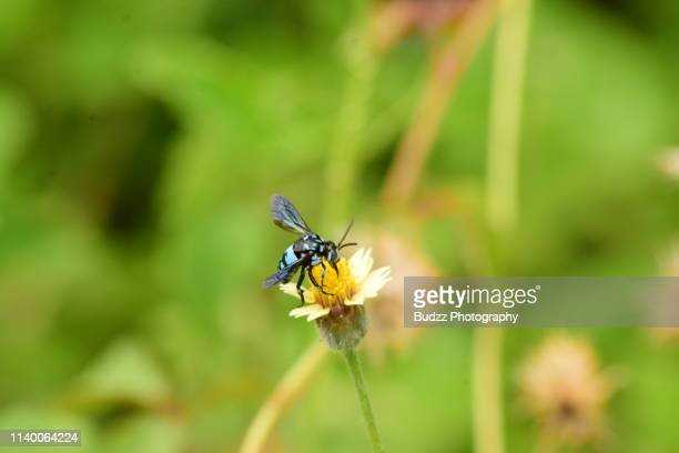 xylocopa caerulea, theblue carpenter bee pollinate wild yellow dandelion - asian hornet stock pictures, royalty-free photos & images