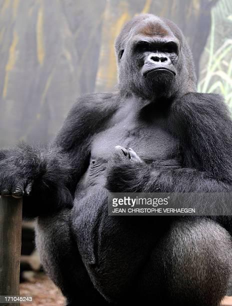 Ya Kwanza a silverback gorilla male sits in its enclosure 'Gorilla's Camp' at the Amneville zoo eastern France on April 04 2012 Ya Kwanza arrived...