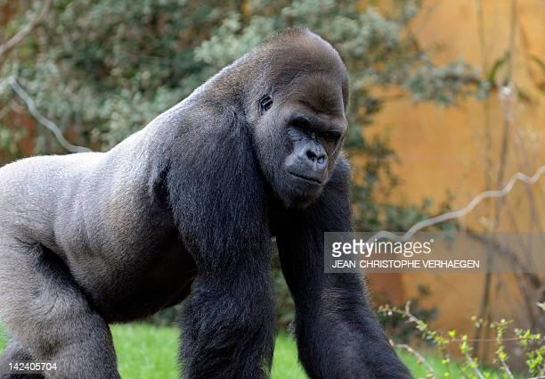 Ya Kwanza a silverback gorilla male walks in its enclosure 'Gorilla's Camp' at the Amneville zoo eastern France on April 04 2012 Ya Kwanza arrived...