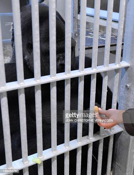 Ya Kwaza a silverback gorilla male is offered food in its enclosure at the Amneville zoo eastern France on February 21 2012 Ya Kwaza arrived with...