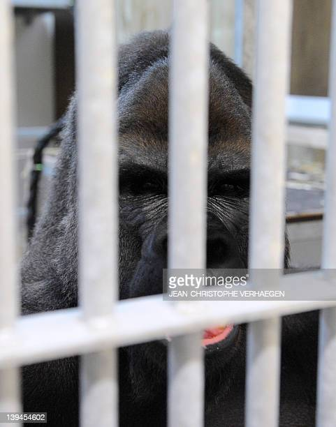 Ya Kwaza a silverback gorilla male stands in its enclosure at the Amneville zoo eastern France on February 21 2012 Ya Kwaza arrived with four other...