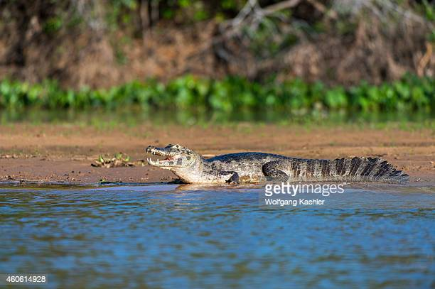 Yacare caiman at a tributary of the Cuiaba River near Porto Jofre in the northern Pantanal, Mato Grosso province in Brazil.
