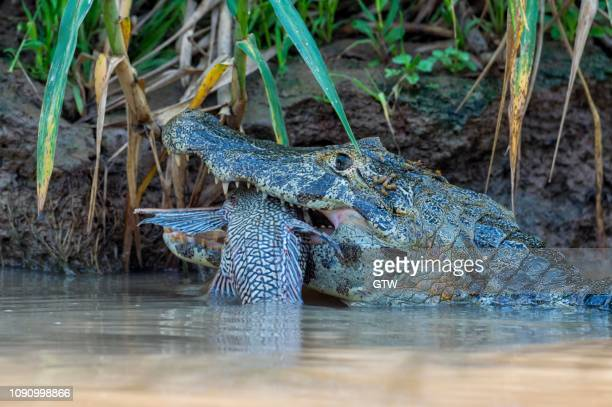 yacare caiman (caiman yacare) devouring a fish, cuiaba river, pantanal, brazil - cuiaba river stock photos and pictures