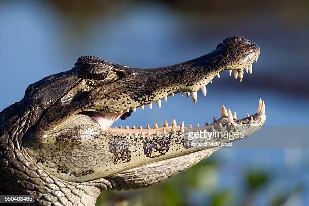 yacare caiman head shot. - posadas stock pictures, royalty-free photos & images