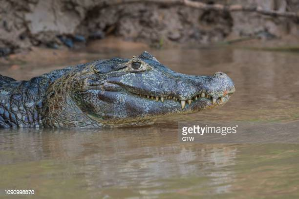 yacare caiman (caiman yacare) in the water, portrait, cuiaba river, pantanal, brazil - cuiaba river stock photos and pictures