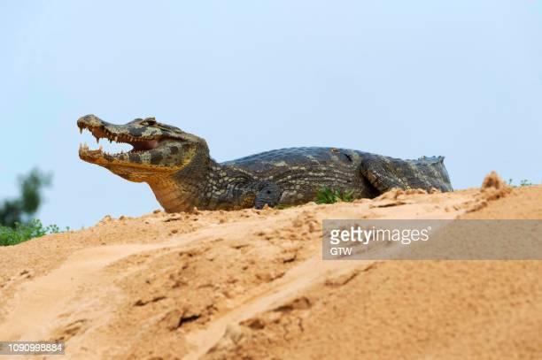yacare caiman (caiman yacare), on a sandbank, cuiaba river, pantanal, brazil - cuiaba river stock photos and pictures