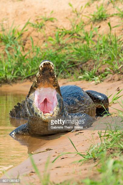 yacare caiman - cuiaba river stock pictures, royalty-free photos & images
