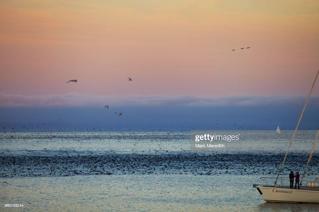 Yachts and seabird feeding frenzy, Santa Cruz, California : Stock-Foto