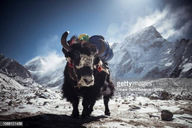 yak against background of mountain peak - yak stock pictures, royalty-free photos & images