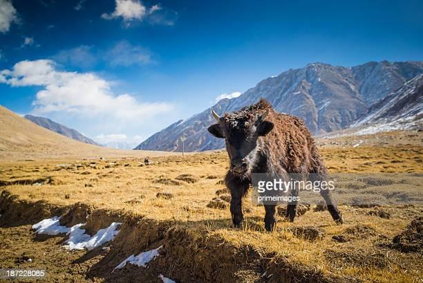 Yak at Nubra Valley Leh Ladahk India