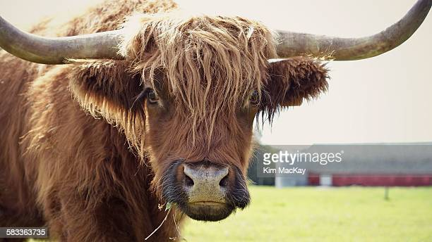 yak at the farm chewing grass - yak stock pictures, royalty-free photos & images