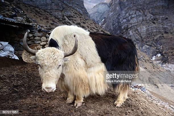yak at thorung phedi. - yak stock pictures, royalty-free photos & images