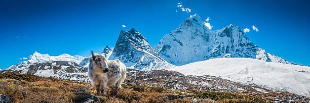 Yak Calf Grazing In High Altitude Pasture Himalaya Mountain Peaks Wall Art