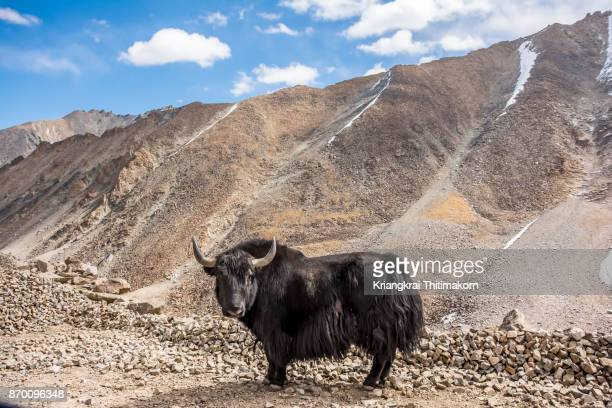 yak can be found in ladakh region, india. - wild cattle stock photos and pictures