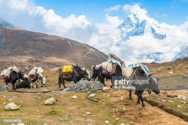 Yak caravan in Dzongla village (4830m) on the way to Chola Pass, Nepal.