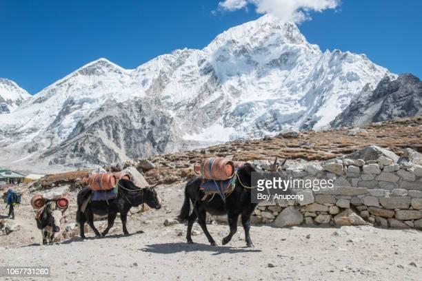 yak caravan in gorakshep village (5,164 m) on the way to everest base camp, nepal. - asian ox imagens e fotografias de stock