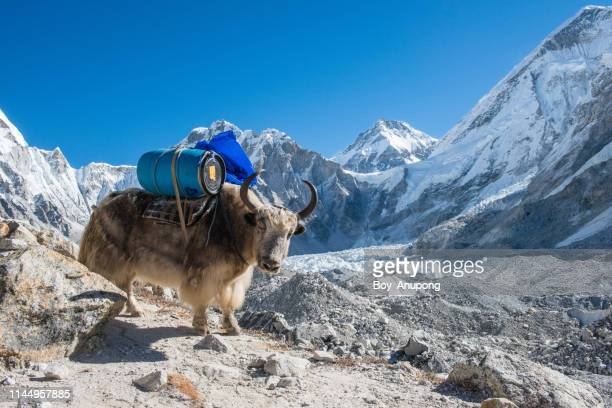 yak carrying barrel on the way to everest base camp in nepal. - mountain pass stock pictures, royalty-free photos & images