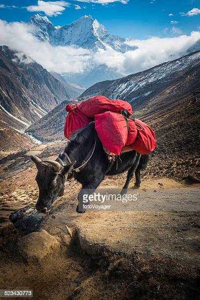 Yak carrying expedition equipment on Himalaya mountain trail Nepal