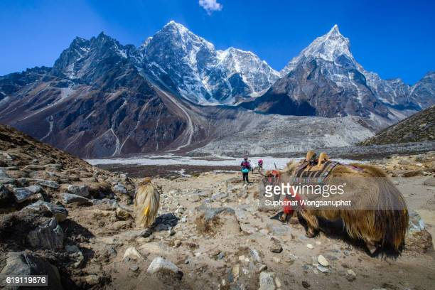 Yak carrying stuff to Everest base camp, Nepal