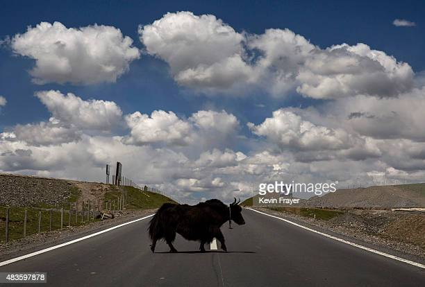 A yak crosses the road near a Tibetan nomad herding area on July 23 2015 on the Tibetan Plateau in Madou County Qinghai China Tibetan nomads face...