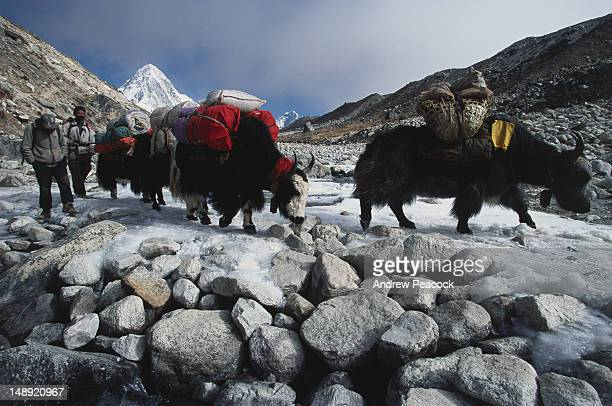 yak crossing enroute from the mt everest base camp, with the tip of mt pumori, 7138 metres high in the background, sagarmatha national park. - yak stock pictures, royalty-free photos & images