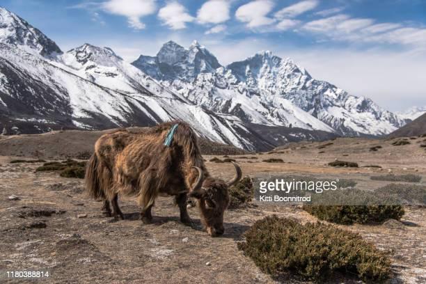 ํyak eating grass on the way to everest base camp,nepal - nepal stock pictures, royalty-free photos & images