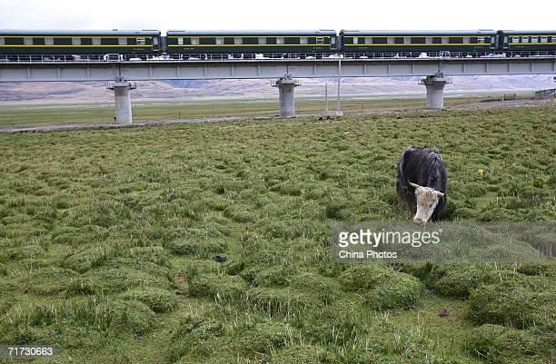 A yak grazes at a pasture along the QinghaiTibet Railway on August 27 2006 in Dangxiong County of Tibet Autonomous Region China The 1956kilometerlong...