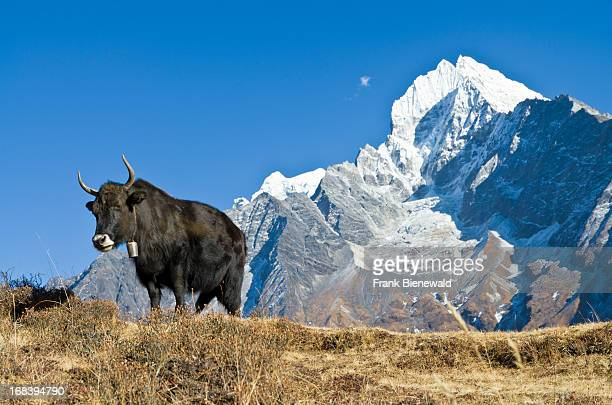 A yak grazing above Namche Bazar the base for trekking and mountaineering in the Solo Khumbu region Kangtega Mountain can be seen in the background