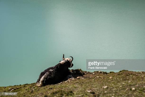 Yak grazing at the slope of Gokyo Ri, Gokyo Lake below.