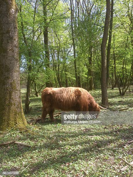 Yak Grazing In Forest