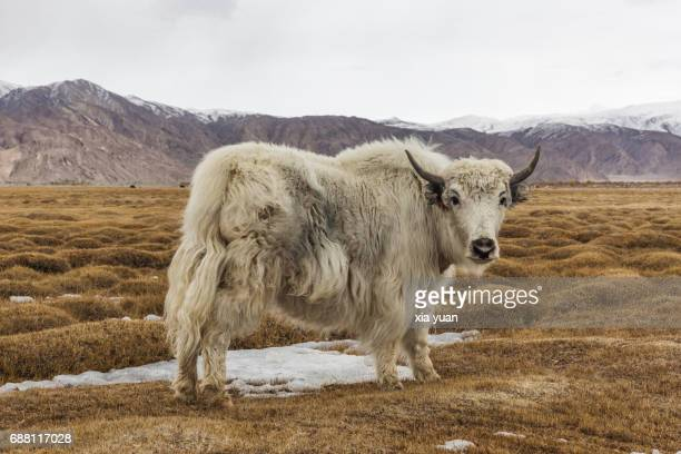 yak grazing in high altitude pasture,tashkurgan,china - wild cattle stock photos and pictures