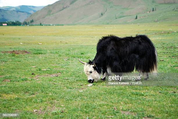 yak grazing on grassy field against mountain - yak stock pictures, royalty-free photos & images