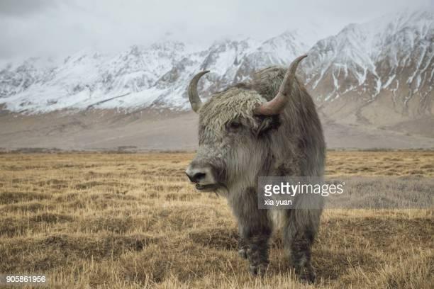 a yak grazing on prairie fields,tashkurgan,china - yak stock pictures, royalty-free photos & images