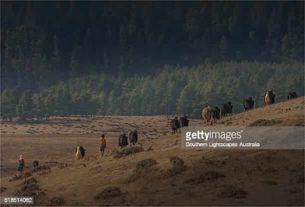 Yak herding, Wangdu province, Eastern Himalayas, Bhutan