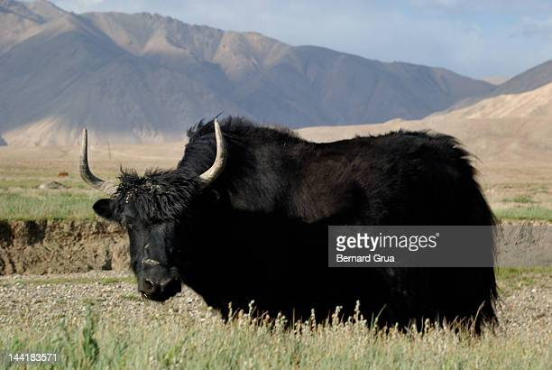 yak in pasture on pamir plateau - bernard grua photos et images de collection