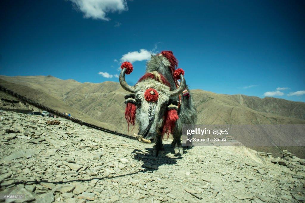 Yak in the Tibetan Plateau : Stock Photo