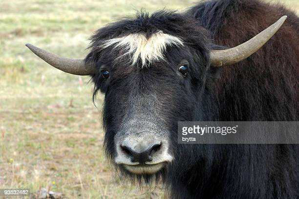 yak(bos grunniens) looking at the camera - yak stock pictures, royalty-free photos & images