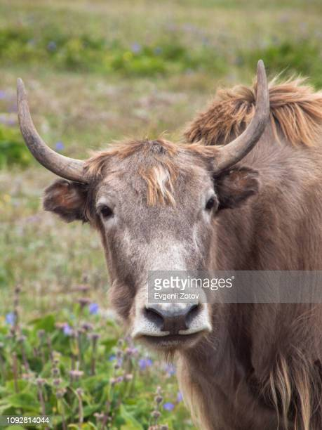 Yak on jailoo (highland pasture) in the Pamir-Alay Mountains in Kyrgyzstan