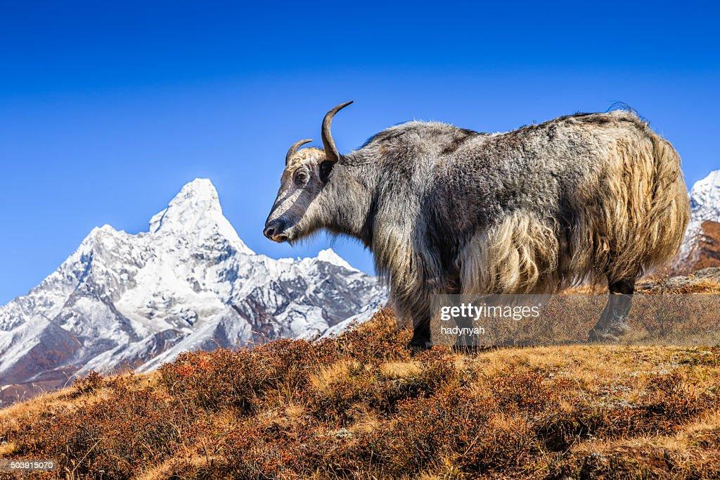 Yak on the trail, Mount Ama Dablam on background, Nepal : Stock Photo