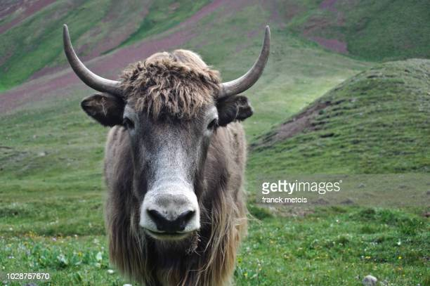 yak ( kyrgyzstan) - yak stock pictures, royalty-free photos & images