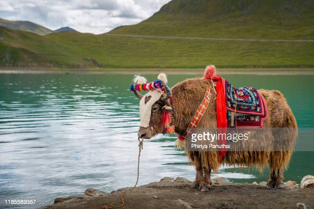 yak - yak stock pictures, royalty-free photos & images