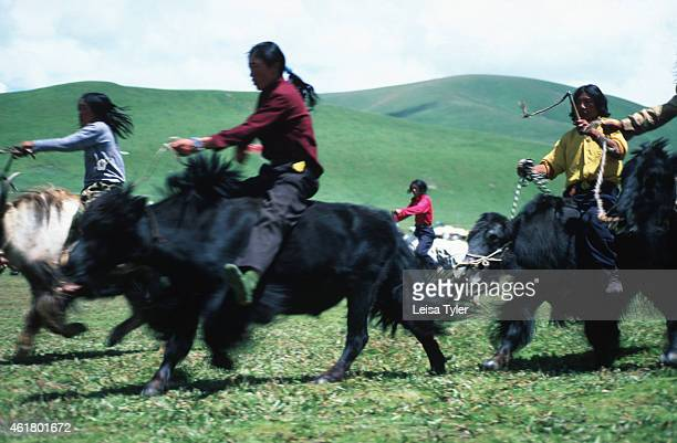 SER'XU SICHUAN CHINA A Yak race at the Ser'xu Horseracing Festival in the former Tibetan kingdom of Kham in Eastern Tibet The festivals are the...