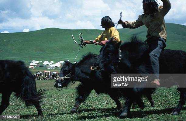 SER'XU SICHUAN CHINA A Yak race at the Ser'xu Horseracing Festival in the former Tibetan kingdom of Kham in Eastern Tibet The festivals are one of...