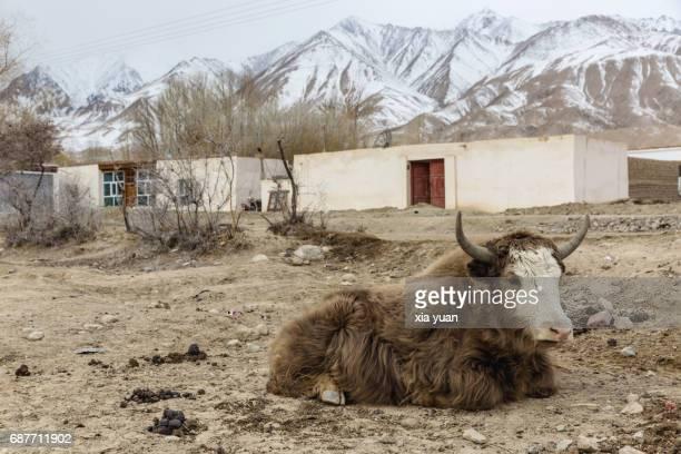a yak resting in tajik village,tashkurgan,xinjiang,china - yak stock pictures, royalty-free photos & images