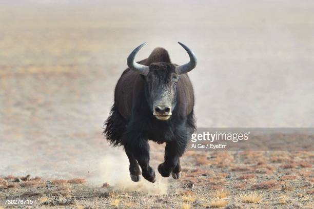 yak running on field - yak stock pictures, royalty-free photos & images